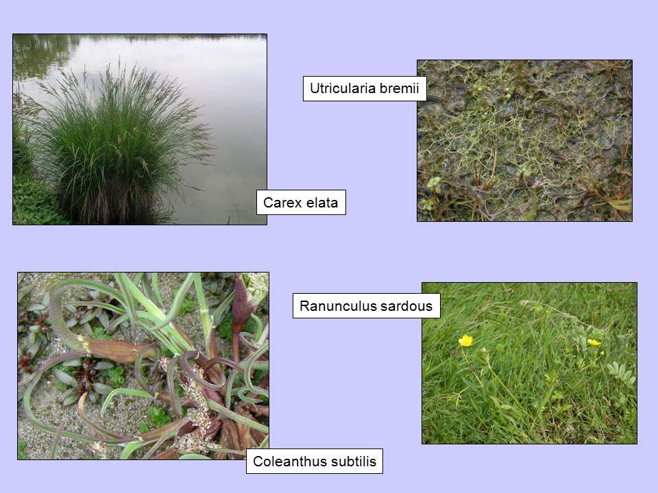 Utricularia bremii Carex elata Ranunculus sardous Coleanthus subtilis