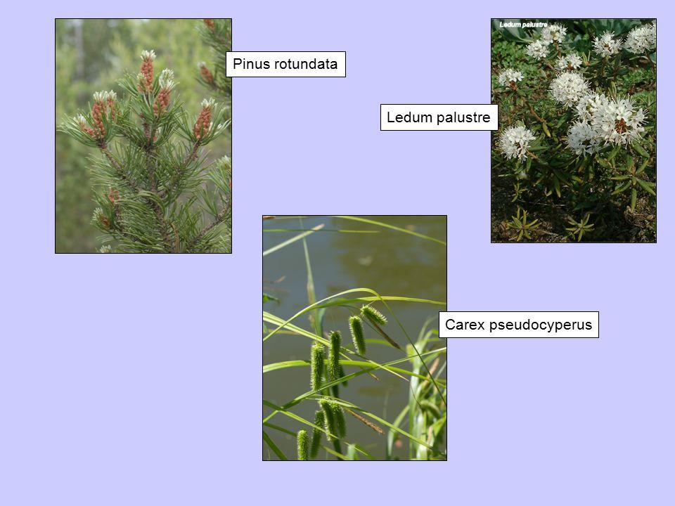 Pinus rotundata Ledum palustre Carex pseudocyperus