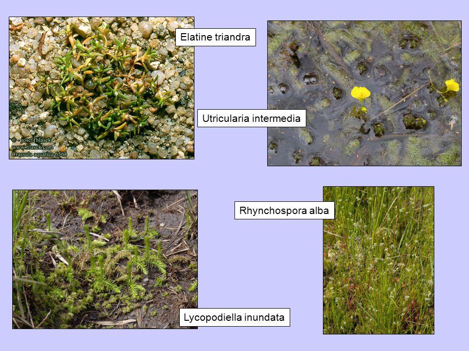 Elatine triandra Utricularia intermedia Rhynchospora alba Lycopodiella inundata