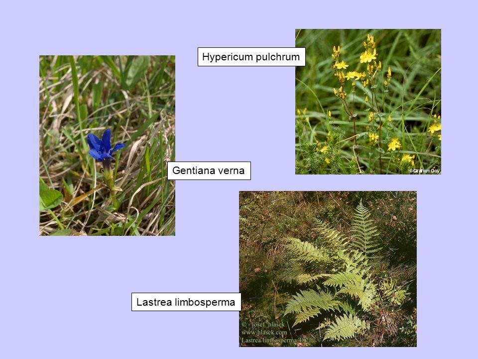 Hypericum pulchrum Gentiana verna Lastrea limbosperma