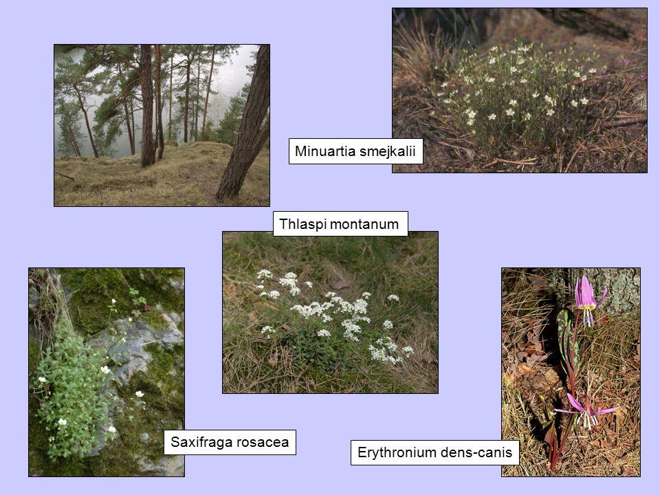 Minuartia smejkalii Thlaspi montanum Saxifraga rosacea Erythronium dens-canis