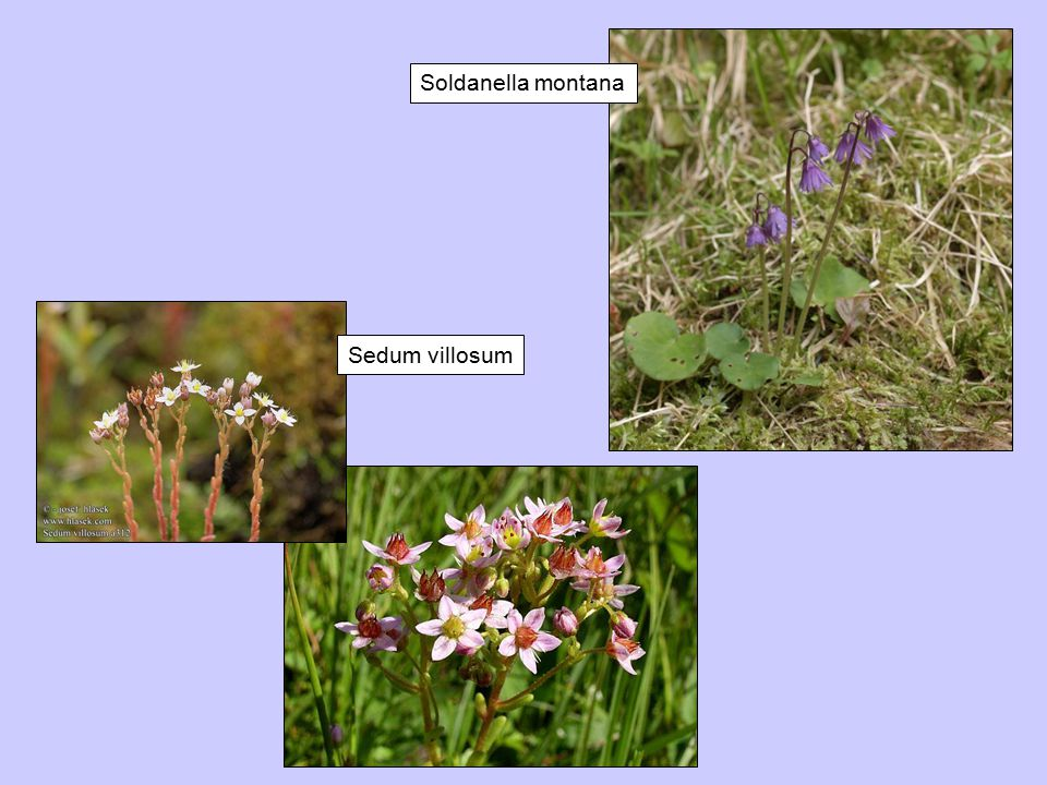 Soldanella montana Sedum villosum