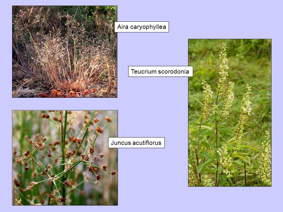 Aira caryophyllea Teucrium scorodonia Juncus acutiflorus