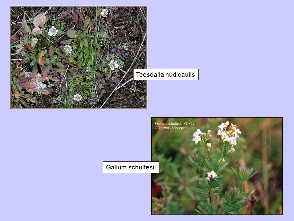 Teesdalia nudicaulis Galium schultesii
