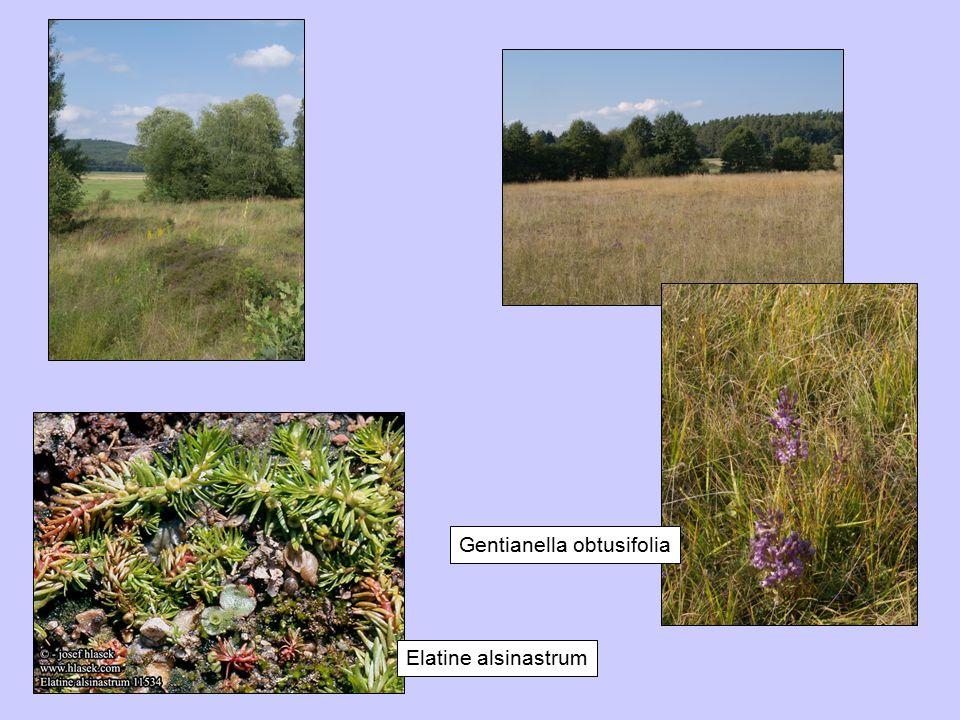 Gentianella obtusifolia