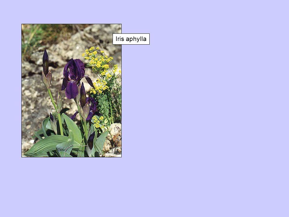 Iris aphylla