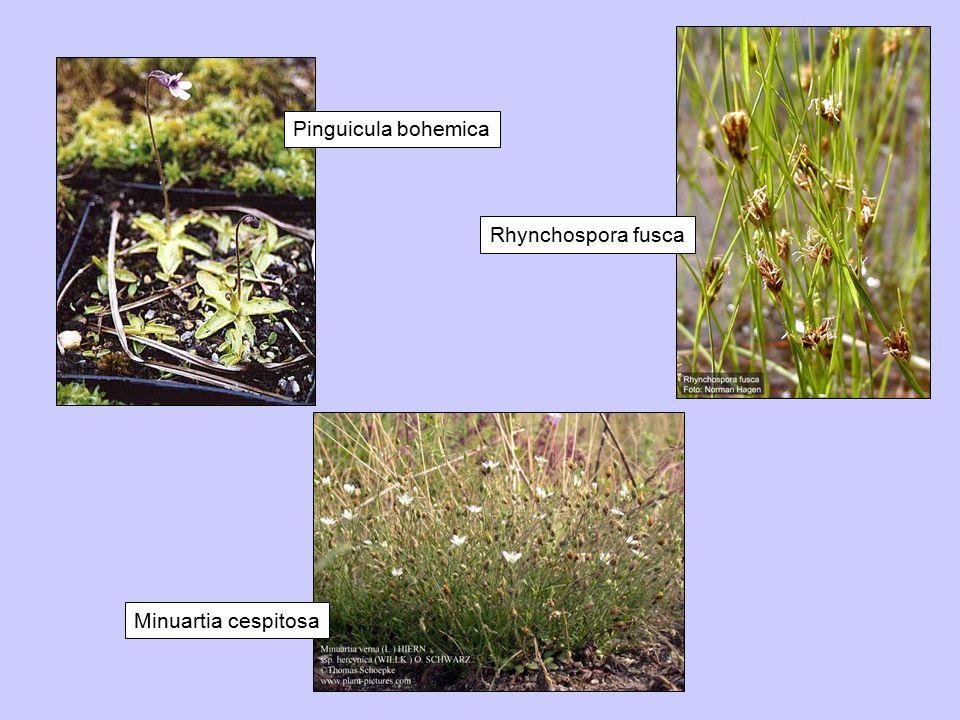 Pinguicula bohemica Rhynchospora fusca Minuartia cespitosa