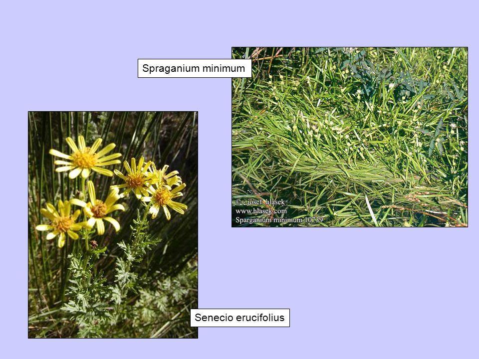 Spraganium minimum Senecio erucifolius