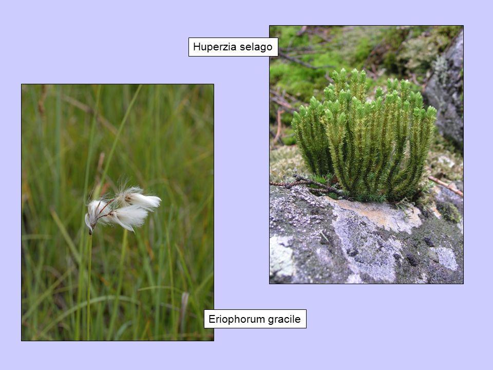 Huperzia selago Eriophorum gracile