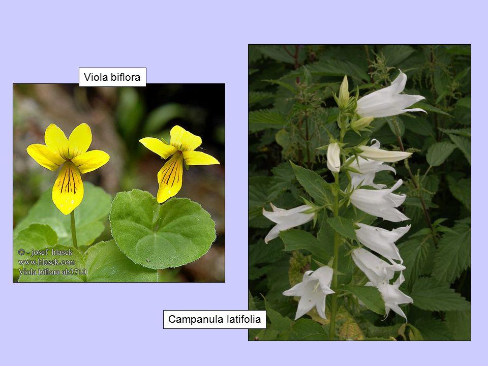 Viola biflora Campanula latifolia