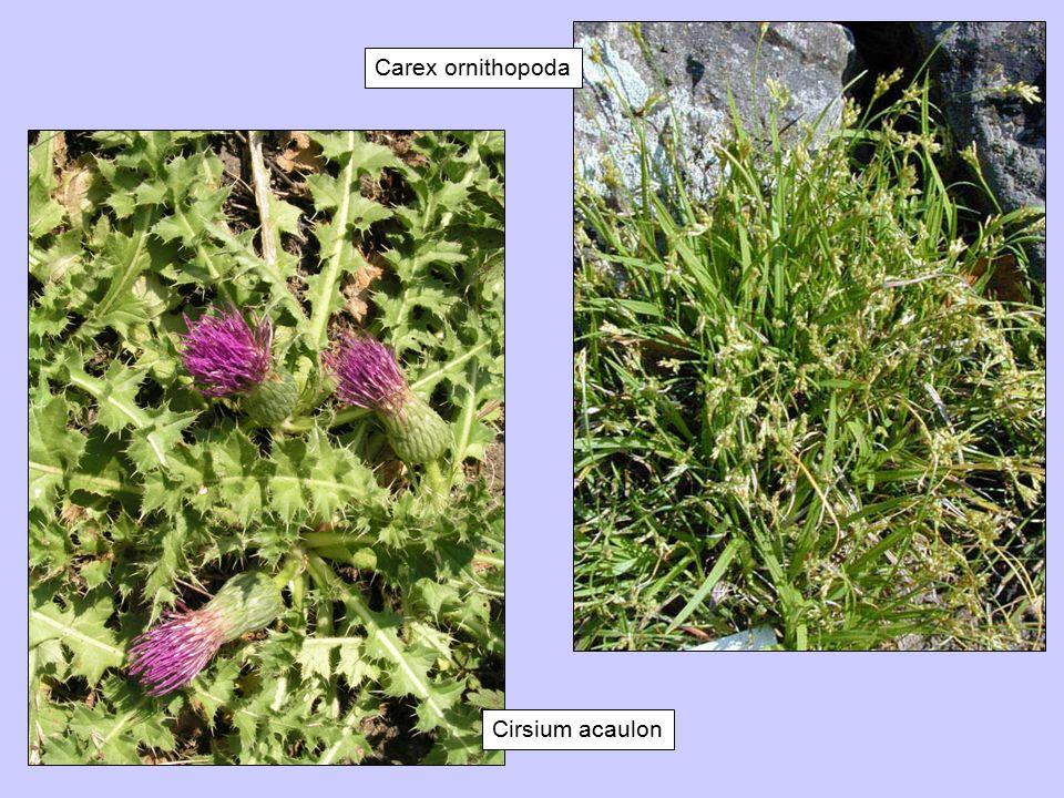 Carex ornithopoda Cirsium acaulon