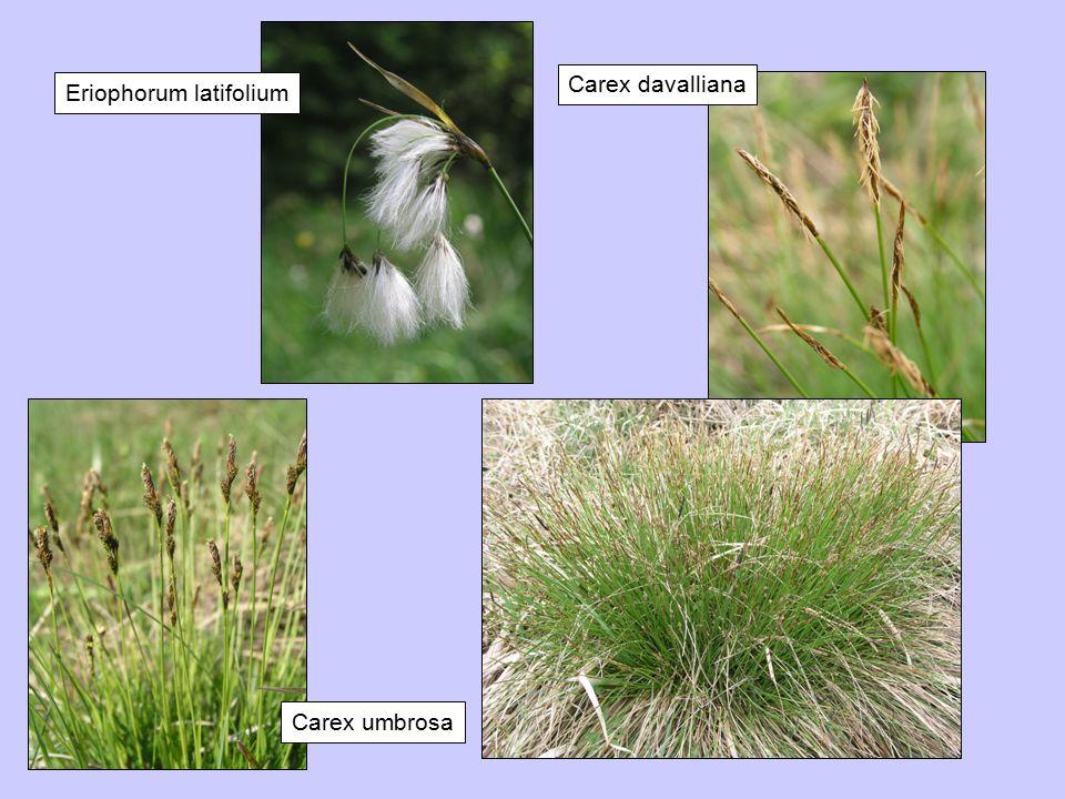 Carex davalliana Eriophorum latifolium Carex umbrosa