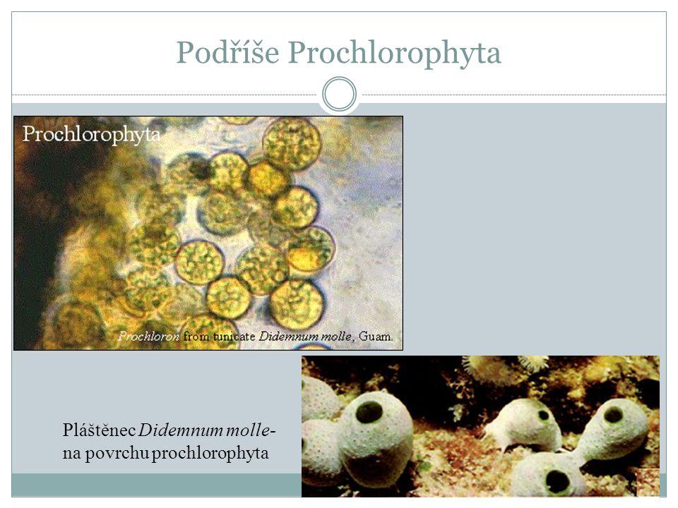Podříše Prochlorophyta