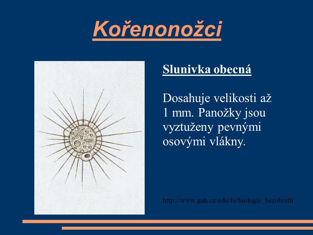 Kořenonožci Slunivka obecná Dosahuje velikosti až 1 mm. Panožky jsou
