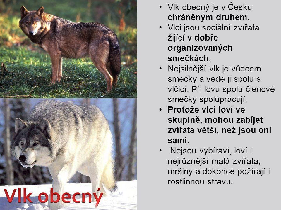 Vlk obecný Vlk obecný je v Česku chráněným druhem.