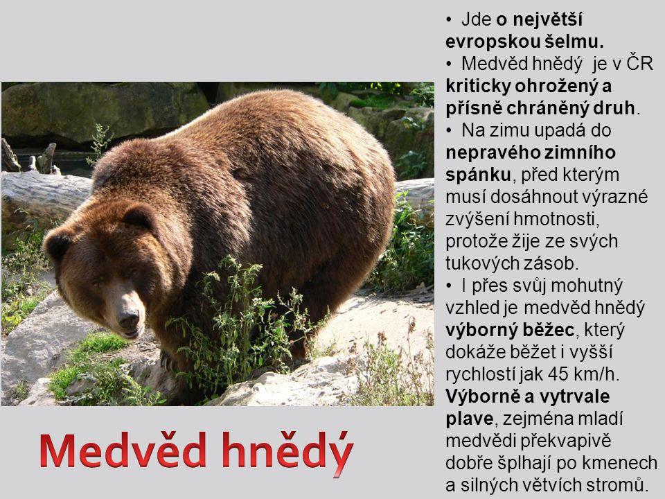 Medvěd hnědý Jde o největší evropskou šelmu.