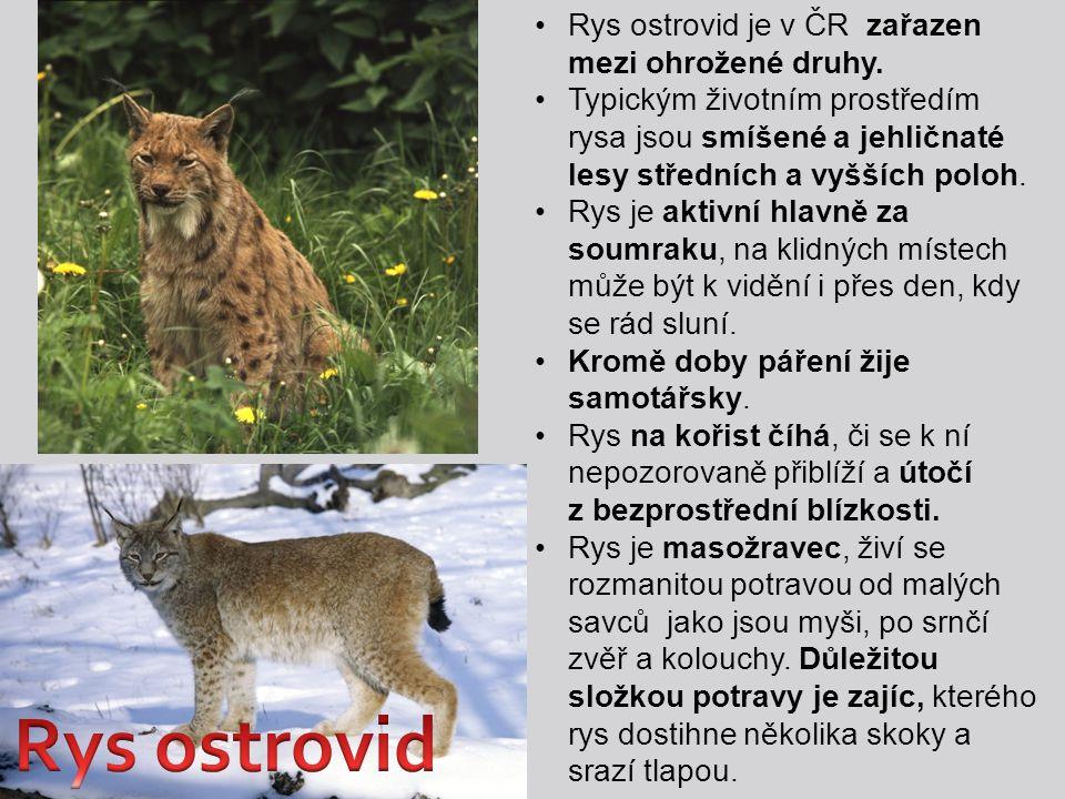 Rys ostrovid Rys ostrovid je v ČR zařazen mezi ohrožené druhy.