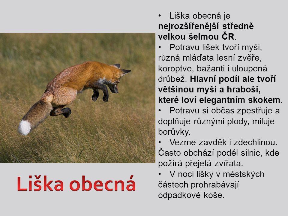 Liška obecná Liška obecná je nejrozšířenější středně velkou šelmou ČR.