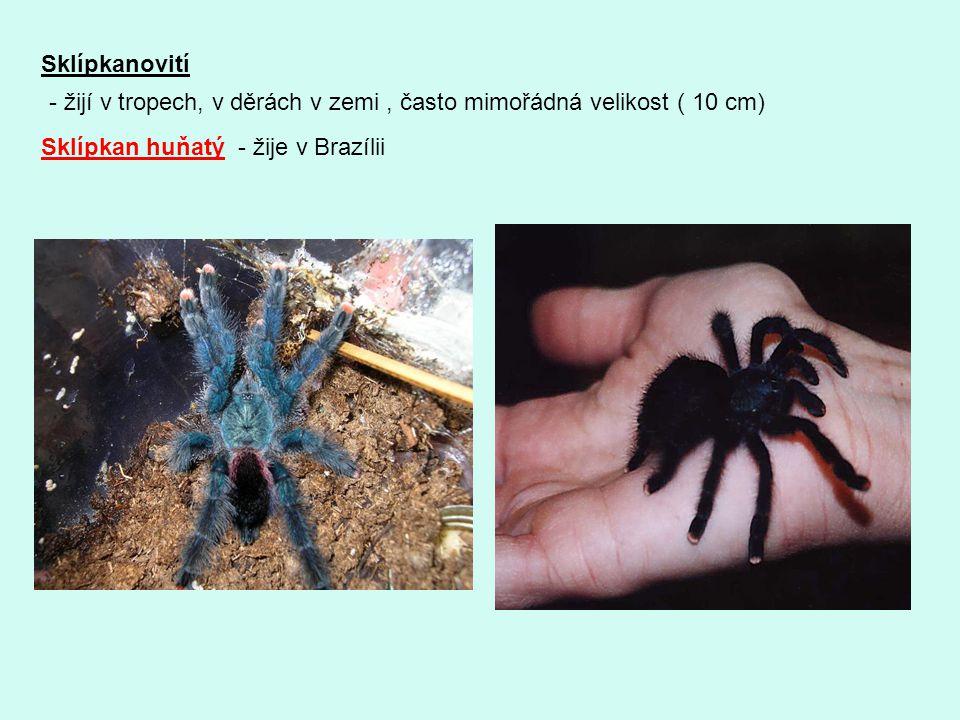 Sklípkanovití - žijí v tropech, v děrách v zemi , často mimořádná velikost ( 10 cm) Sklípkan huňatý - žije v Brazílii.