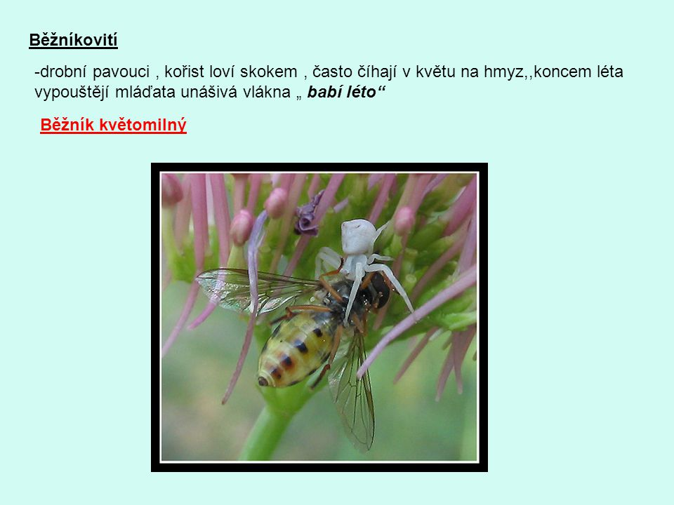 """Běžníkovití drobní pavouci , kořist loví skokem , často číhají v květu na hmyz,,koncem léta. vypouštějí mláďata unášivá vlákna """" babí léto"""