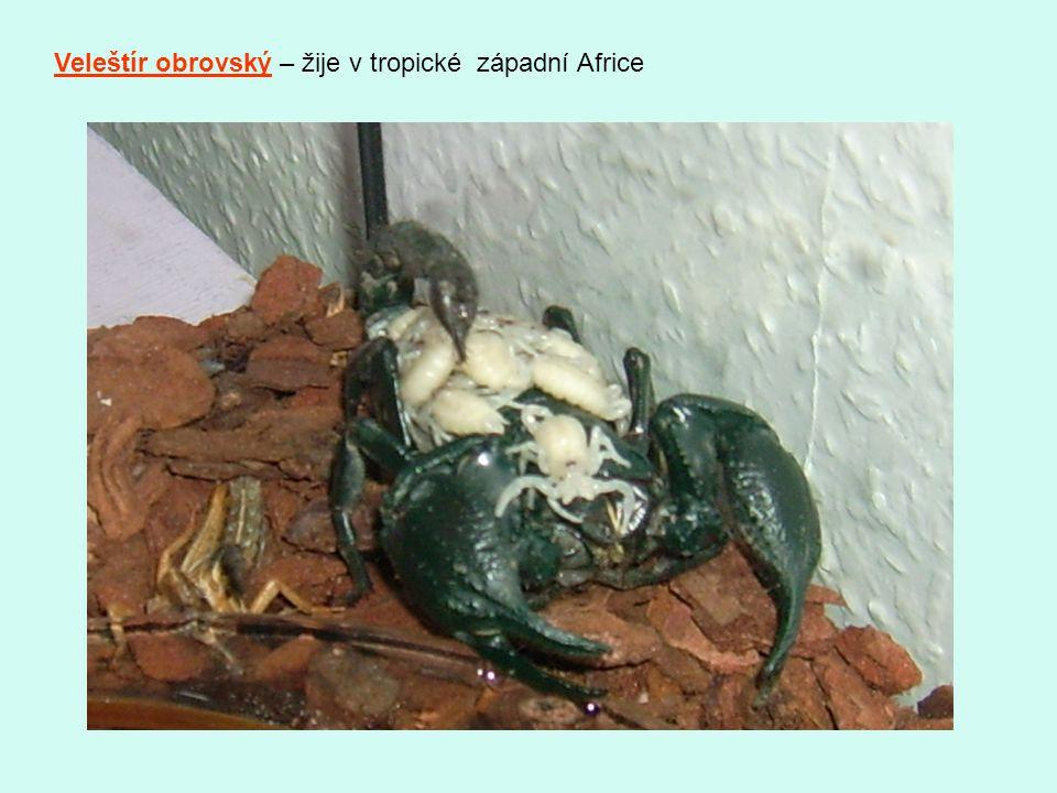 Veleštír obrovský – žije v tropické západní Africe