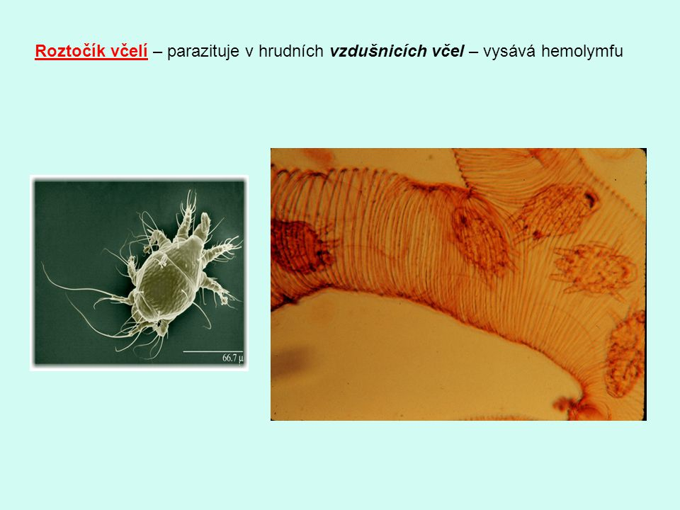 Roztočík včelí – parazituje v hrudních vzdušnicích včel – vysává hemolymfu