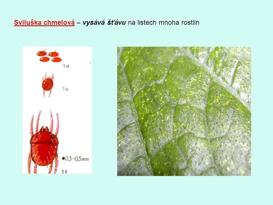 Sviluška chmelová – vysává šťávu na listech mnoha rostlin