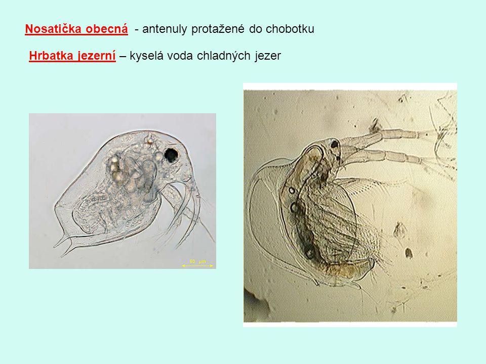 Nosatička obecná - antenuly protažené do chobotku