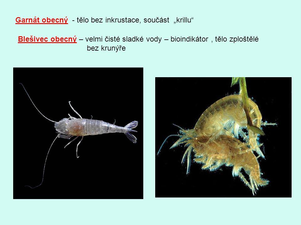 """Garnát obecný - tělo bez inkrustace, součást """"krillu"""