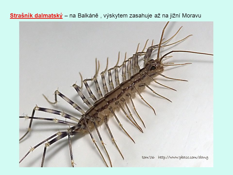 Strašník dalmatský – na Balkáně , výskytem zasahuje až na jižní Moravu