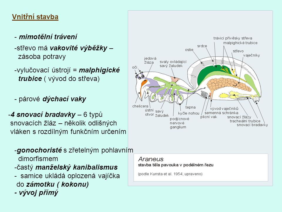Vnitřní stavba - mimotělní trávení. -střevo má vakovité výběžky – zásoba potravy. vylučovací ústrojí = malphigické.