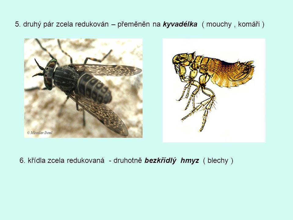 5. druhý pár zcela redukován – přeměněn na kyvadélka ( mouchy , komáři )