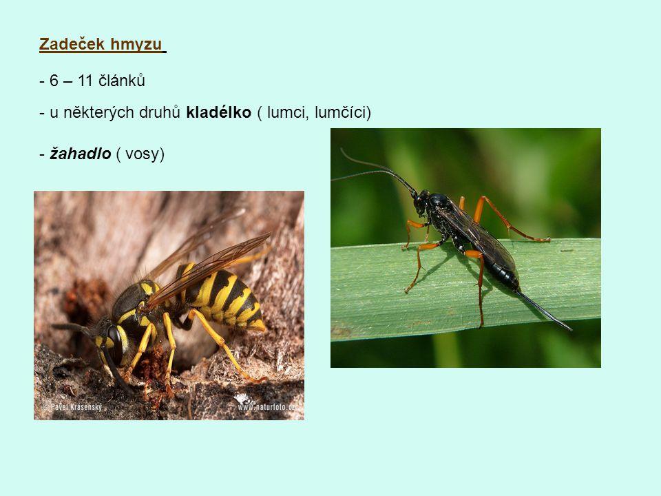 Zadeček hmyzu - 6 – 11 článků - u některých druhů kladélko ( lumci, lumčíci) - žahadlo ( vosy)