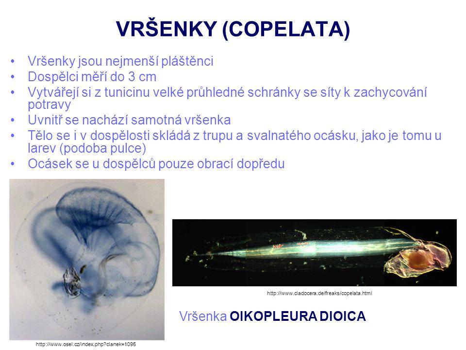 VRŠENKY (COPELATA) Vršenky jsou nejmenší pláštěnci