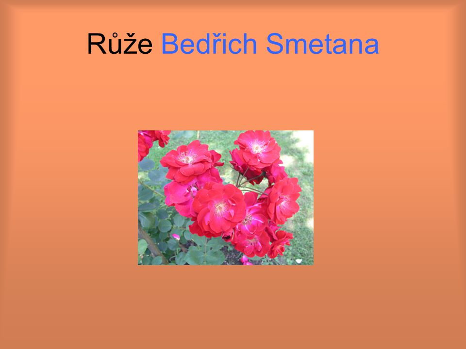 Růže Bedřich Smetana
