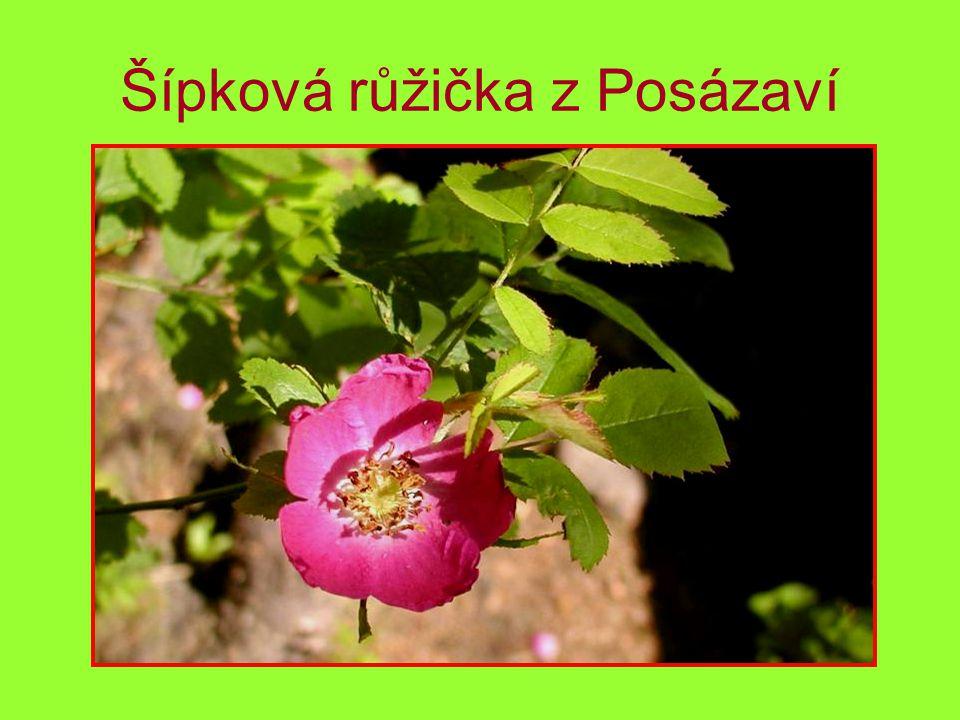 Šípková růžička z Posázaví