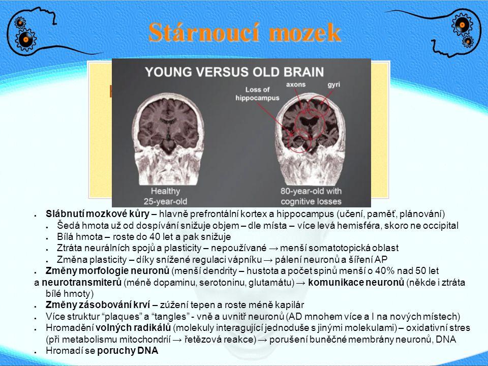 Stárnoucí mozek Slábnutí mozkové kůry – hlavně prefrontální kortex a hippocampus (učení, paměť, plánování)