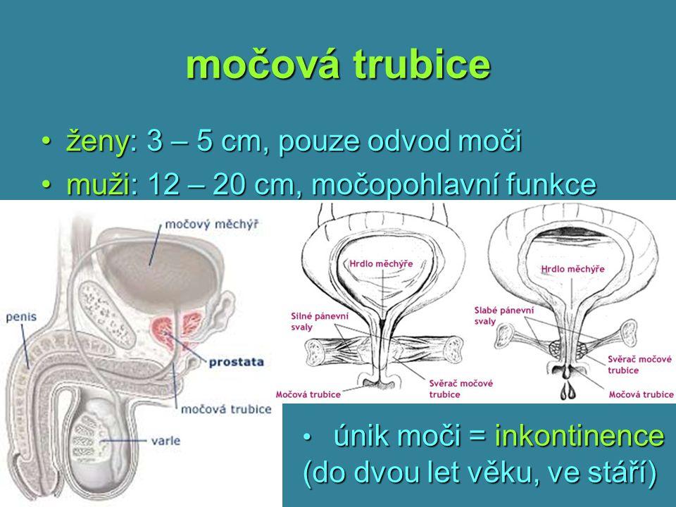 močová trubice ženy: 3 – 5 cm, pouze odvod moči