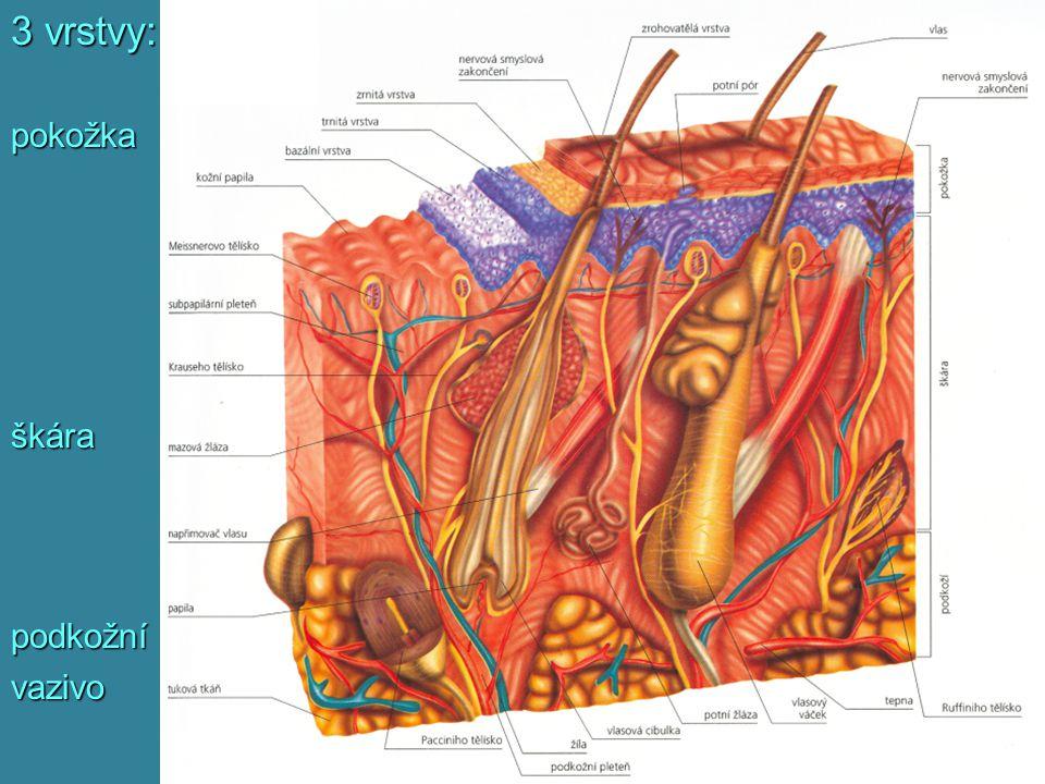 3 vrstvy: pokožka škára podkožní vazivo