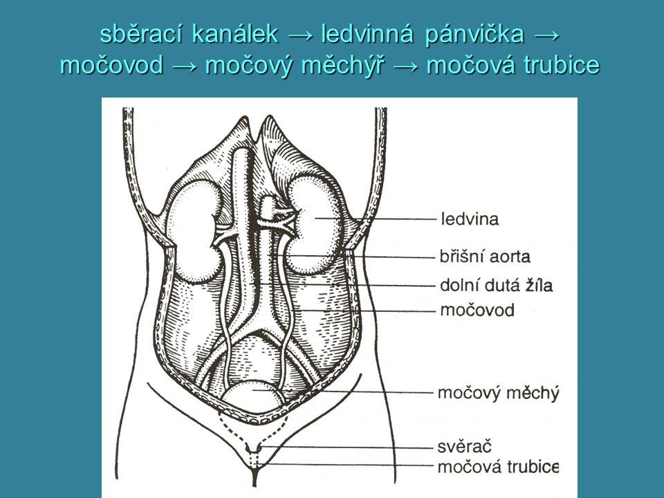 sběrací kanálek → ledvinná pánvička → močovod → močový měchýř → močová trubice