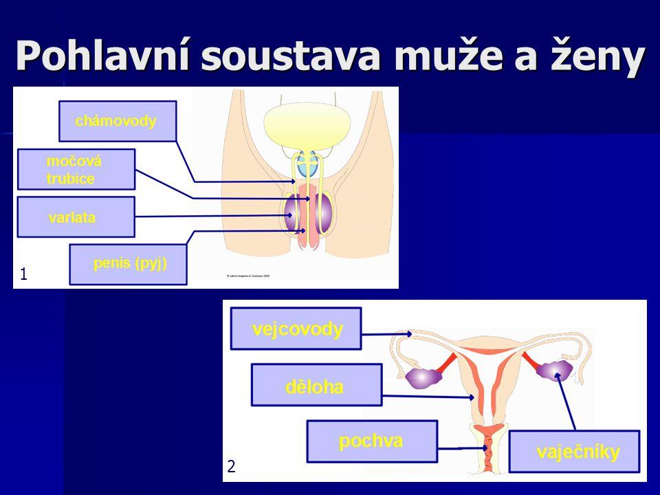 Pohlavní soustava muže a ženy