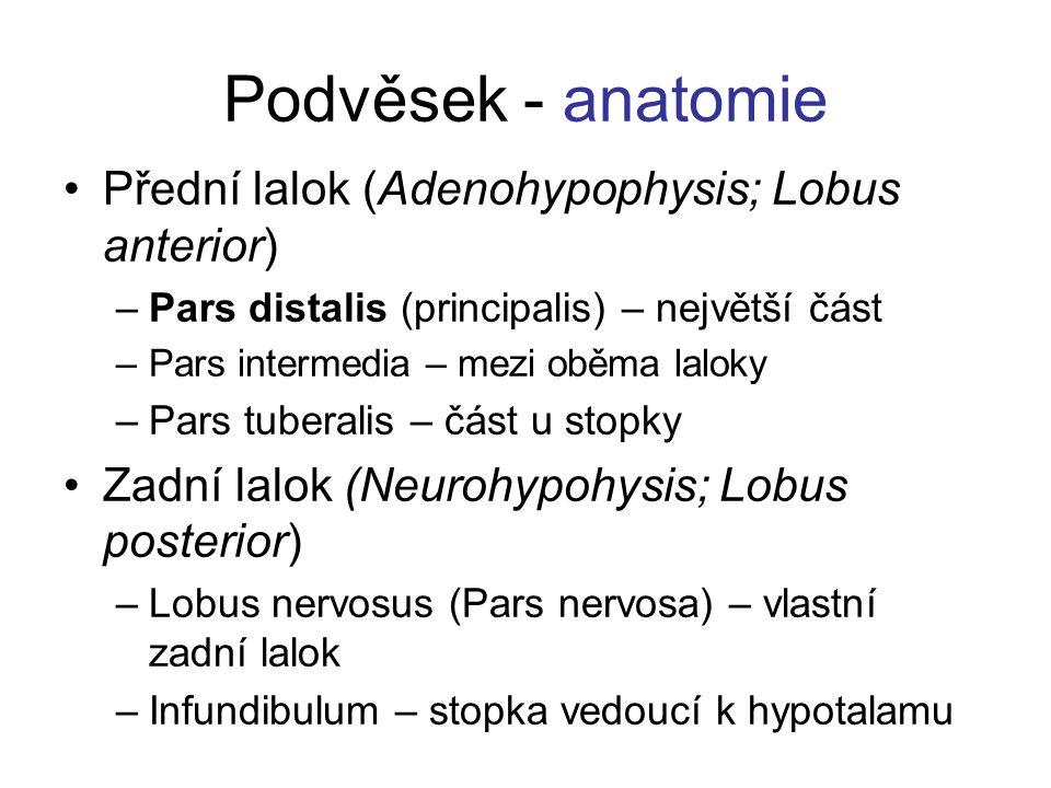 Podvěsek - anatomie Přední lalok (Adenohypophysis; Lobus anterior)