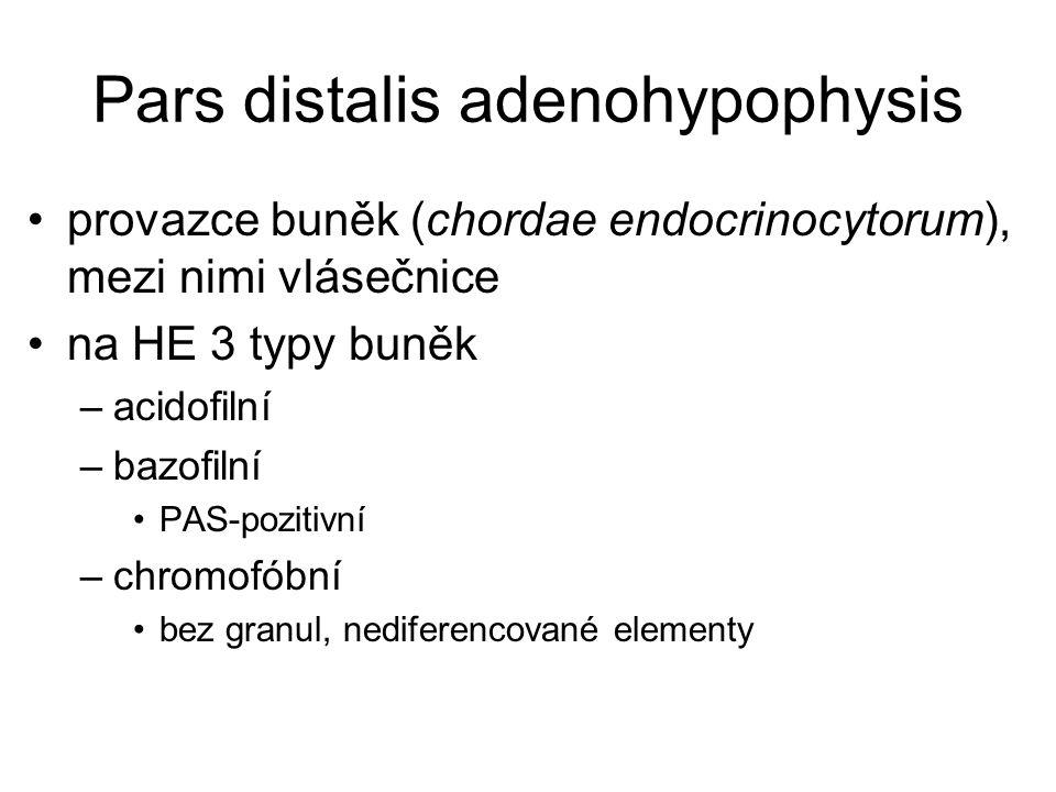 Pars distalis adenohypophysis