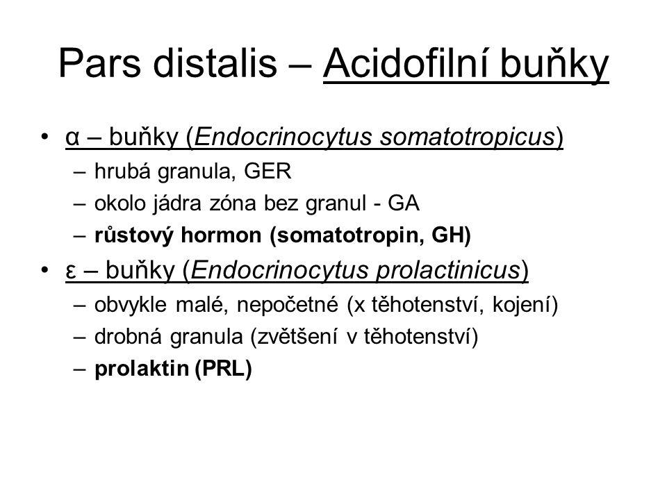 Pars distalis – Acidofilní buňky