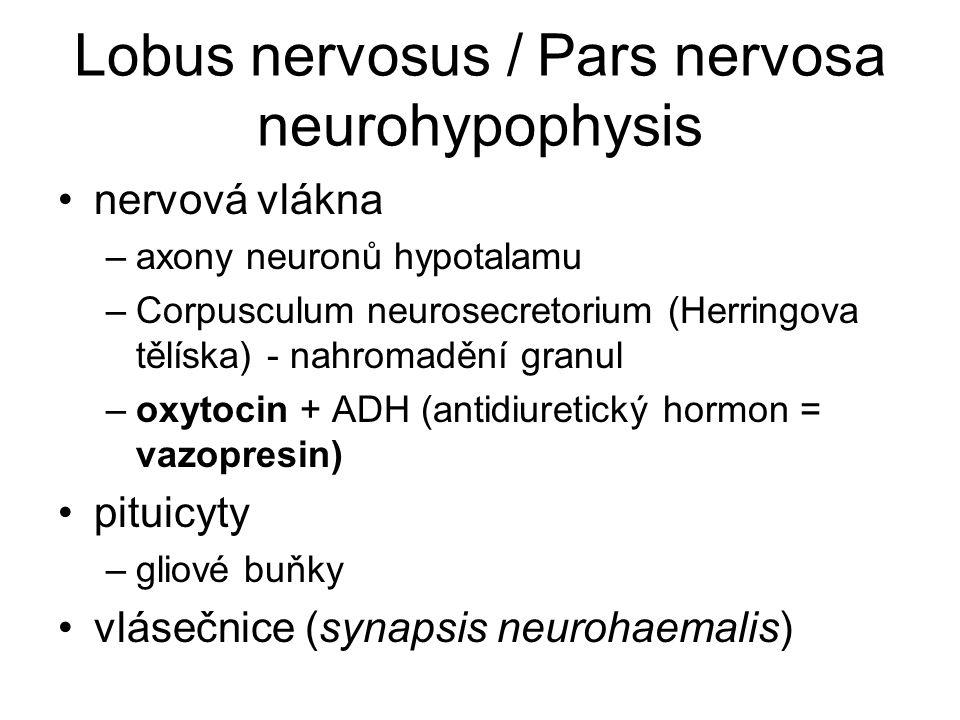 Lobus nervosus / Pars nervosa neurohypophysis