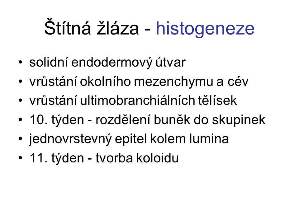 Štítná žláza - histogeneze