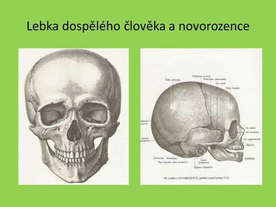 Lebka dospělého člověka a novorozence