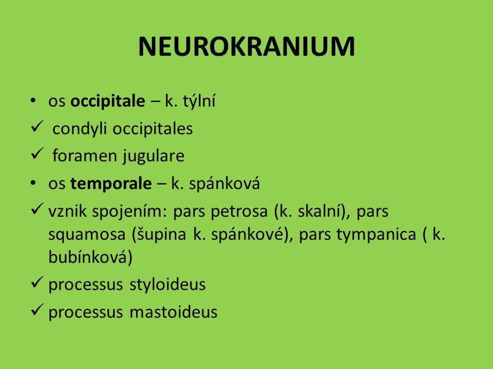 NEUROKRANIUM os occipitale – k. týlní condyli occipitales