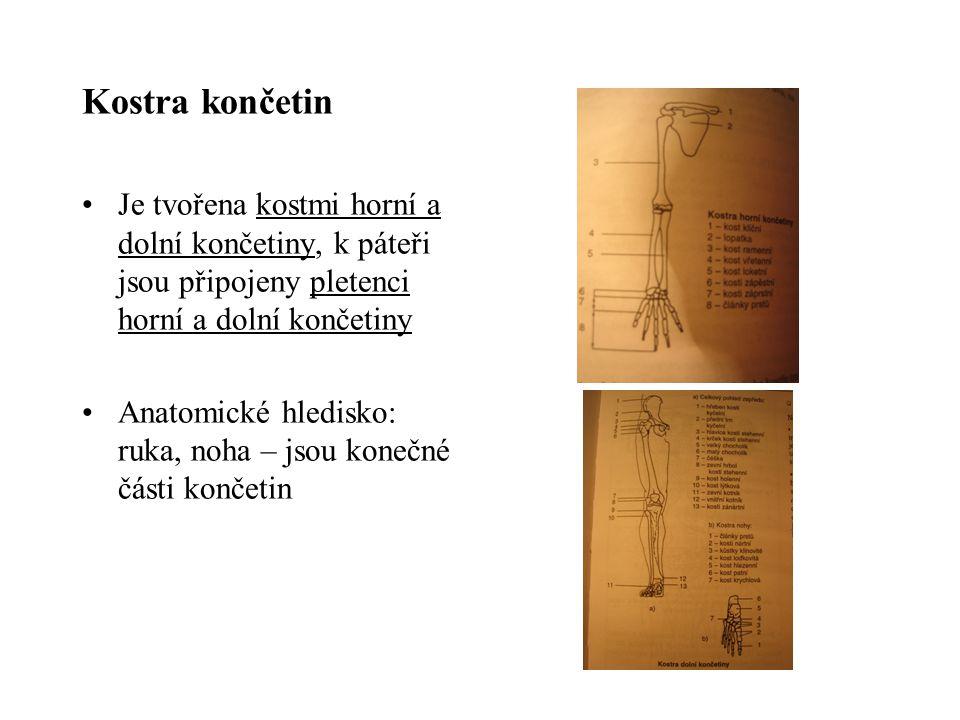 Kostra končetin Je tvořena kostmi horní a dolní končetiny, k páteři jsou připojeny pletenci horní a dolní končetiny.