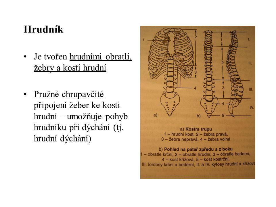 Hrudník Je tvořen hrudními obratli, žebry a kostí hrudní